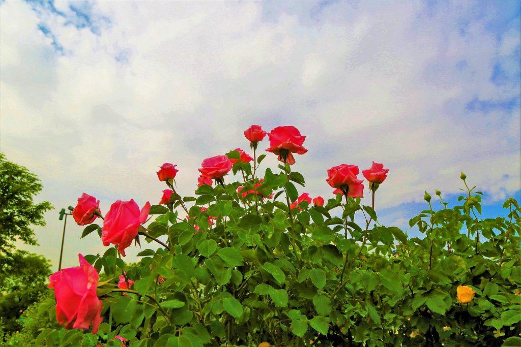 Róże sprawią, że twój ogród będzie jeszcze piękniejszy.